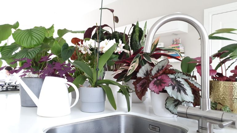 prevent begonia drooping through good watering practices