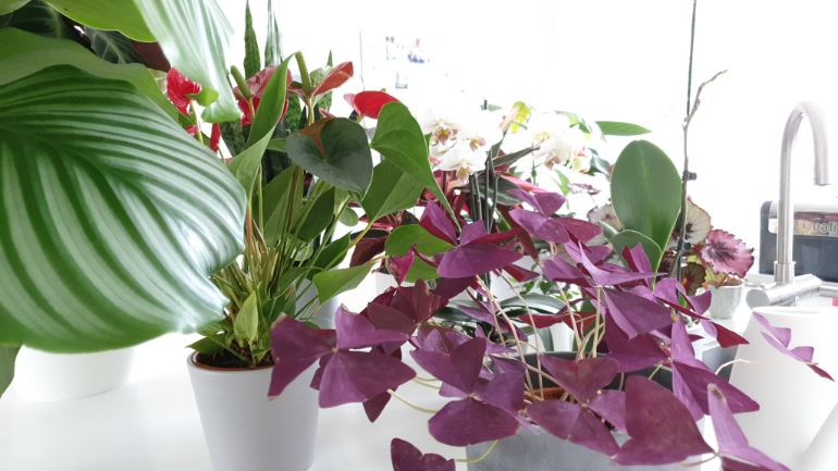 Collection of houseplants about to be watered. Beginners guide to hoouseplant care