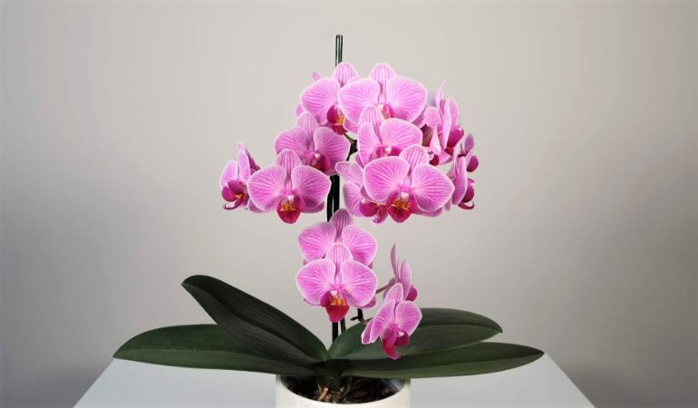 phalaenopsis  orchid houseplant. How to grow plants indoors
