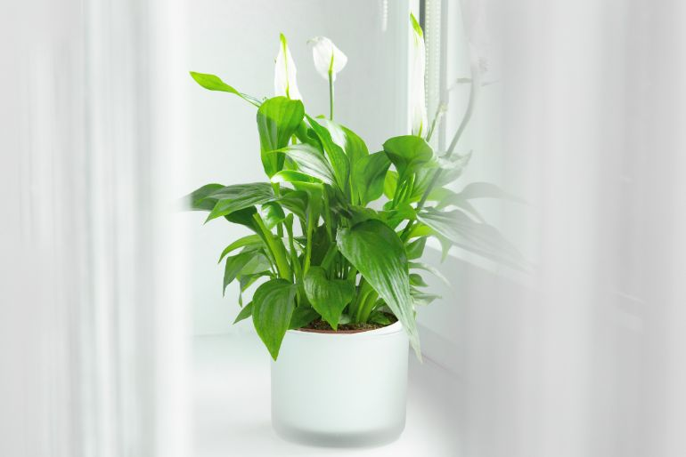 peace lily flowers turning green