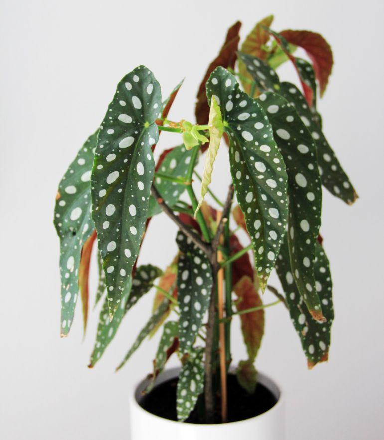 begonia leaves turning brown