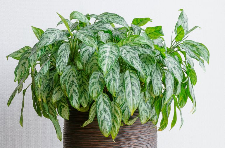 chinese evergreen drooping due to overwatering