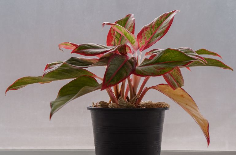 chinese evergreen drooping