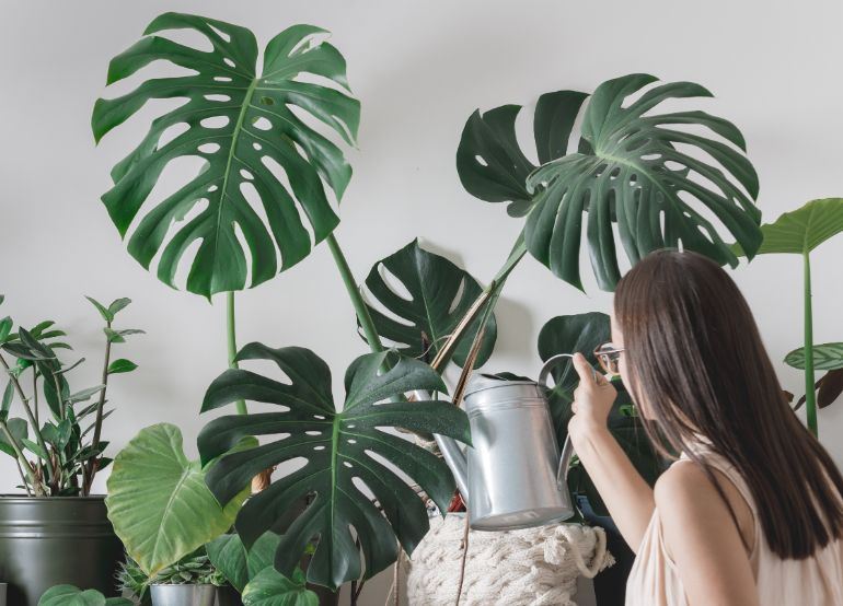 how to water monstera houseplants