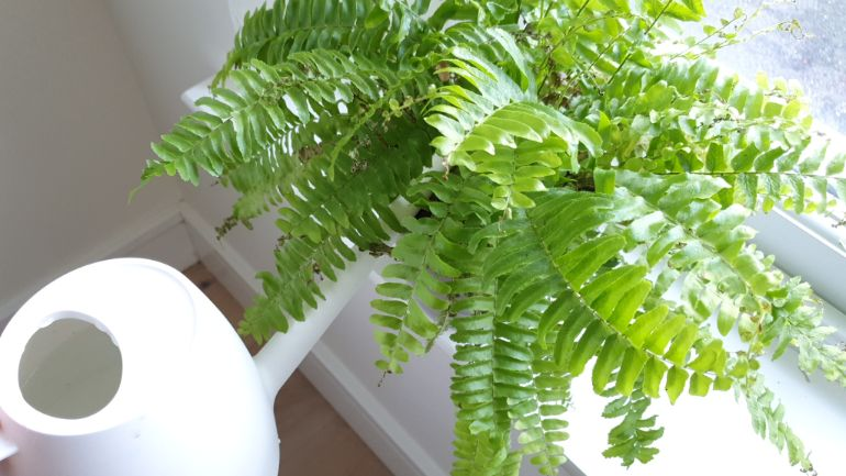 Boston Fern relatively resistant to overwatering