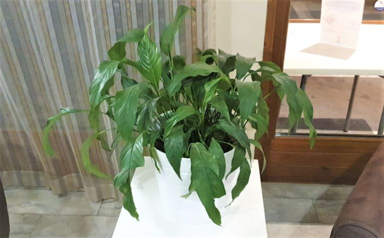 peace lily not growing
