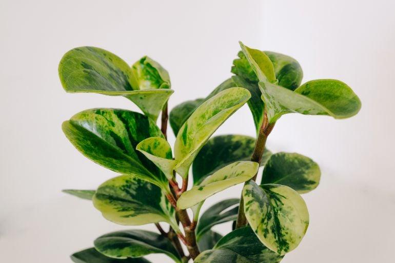 peperomia obtusifolia peperomia varieties