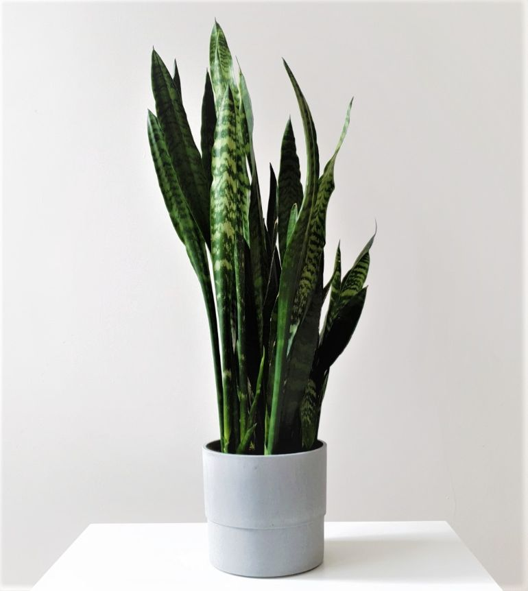 snake plant not growing