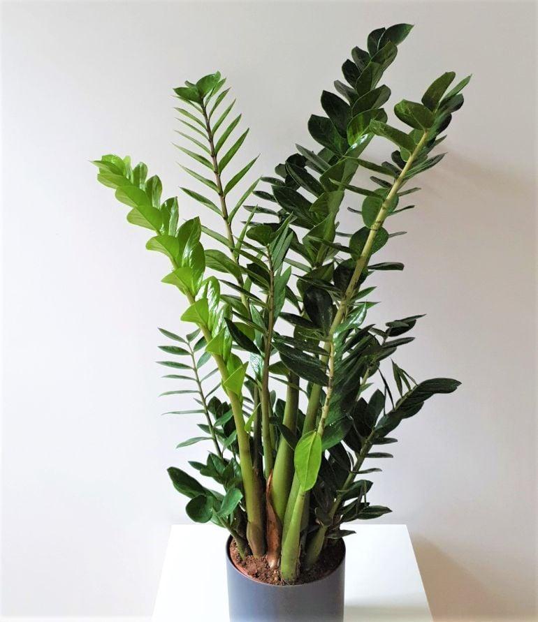 large zz plant (zamioculcas zamiifolia) to demonstrate growth rate