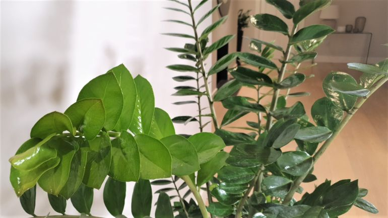 zz plant problems brown tips on leaves