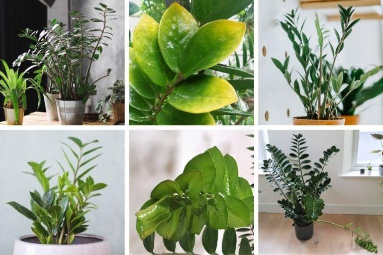 zz plant problems