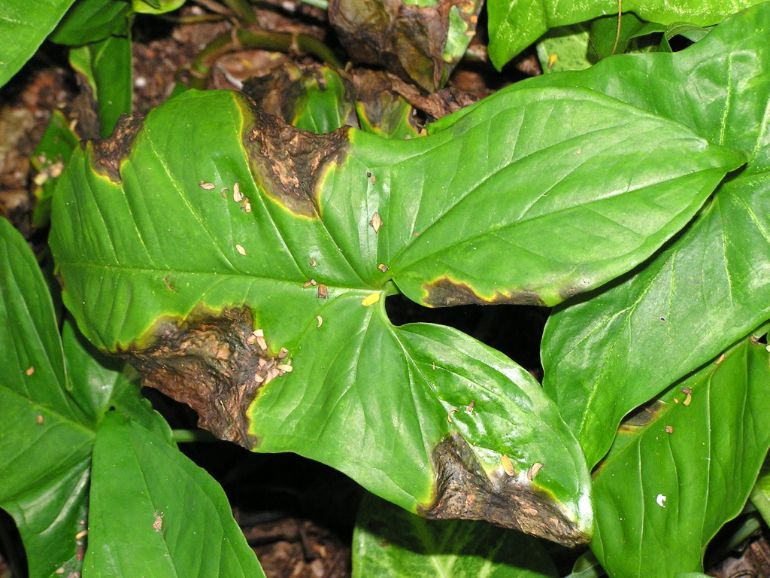 black spots on houseplant leaves caused by bacterial infection
