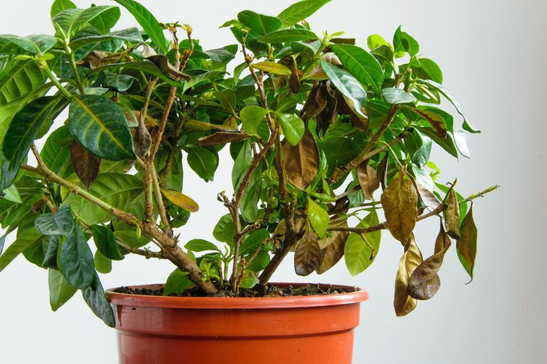 gardenia dying and dropping leaves