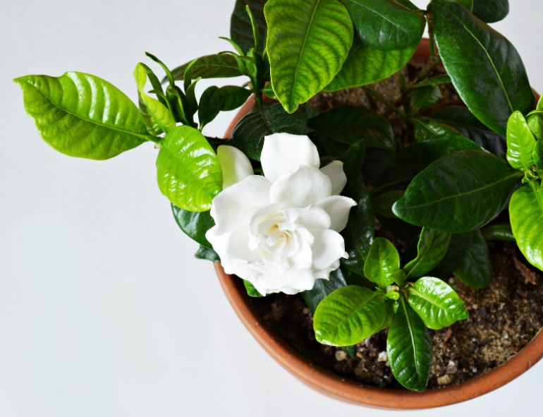 examining plant closely to work out why gardenia is dying