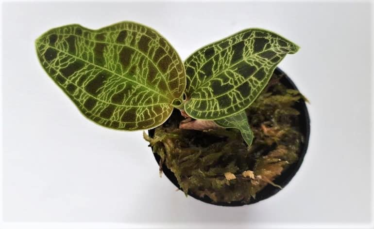 jewel orchid problems