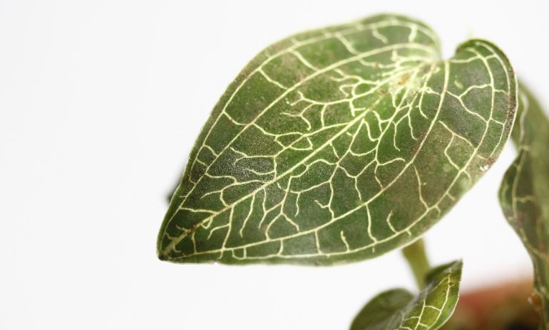 jewel orchid leaves turning brown