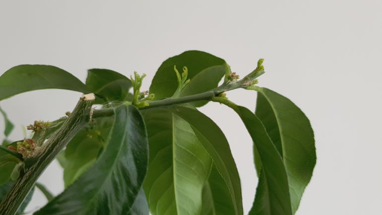 new growth on lemon tree after pruning