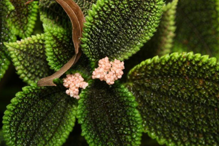 pilea involucrata flowers friendship plant