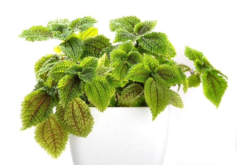 pilea involucrata care friendship plant