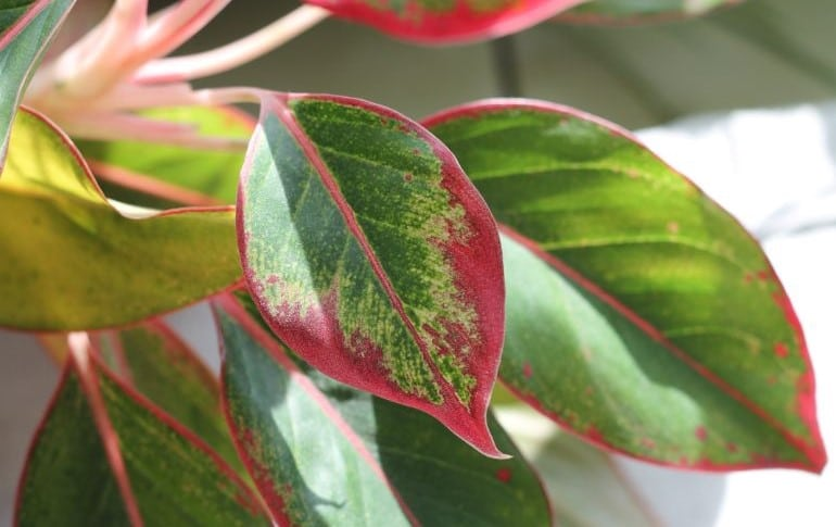chinese evergreen leaves curling