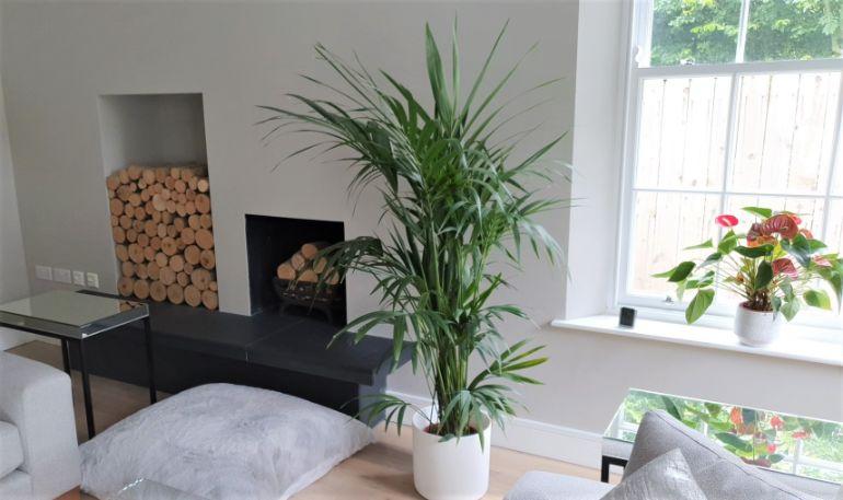 kentia palm problems